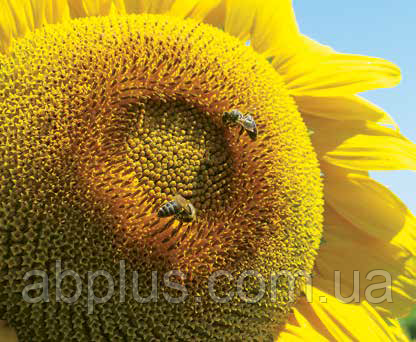 Насіння соняшника, Tunca Круїзер