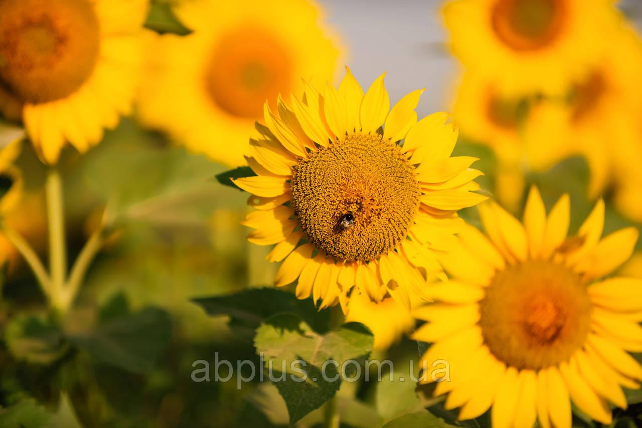 Насіння соняшника, LG 50505  Круїзер