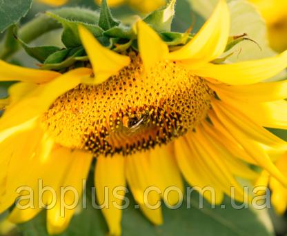 Насіння соняшника, LG 50585
