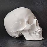 Модель черепа человека. Череп из гипса в натуральную величину, наглядное пособие, предмет интерьера, фото 4