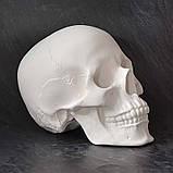 Модель черепа человека. Череп из гипса в натуральную величину, наглядное пособие, предмет интерьера, фото 3