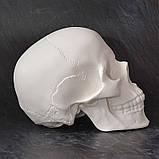 Модель черепа человека. Череп из гипса в натуральную величину, наглядное пособие, предмет интерьера, фото 5