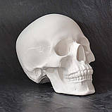 Модель черепа человека. Череп из гипса в натуральную величину, наглядное пособие, предмет интерьера, фото 2