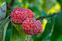 Клубничное Дерево Burgundia