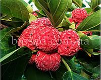 Клубничное Дерево Rubra, фото 1