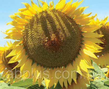 Насіння соняшника, LG 50300 Круїзер