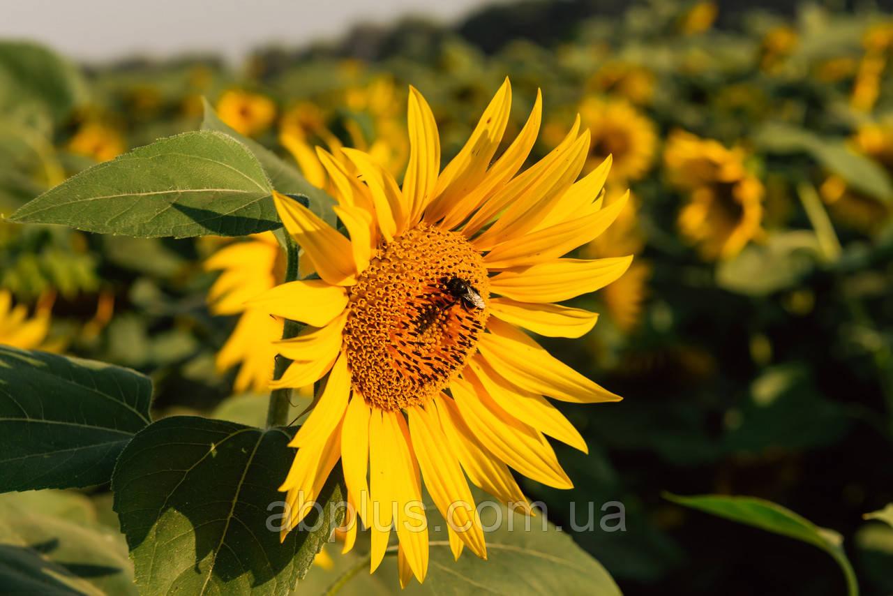 Насіння соняшника, LG 50270