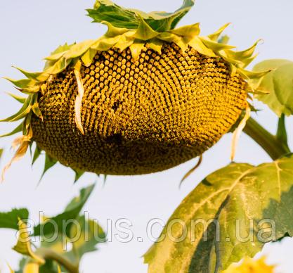 Насіння соняшника, LG 50609 SX*  Круїзер