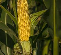 Насіння кукурудзи НС 3030 (Південь Агролидер)