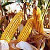 Насіння кукурудзи ДН Хортиця ФАО 240