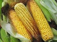 Насіння кукурудзи ДН Фієста (ФАО 260)