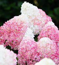 """Гортензія волотиста """"Pink & Rose"""", (C3)"""