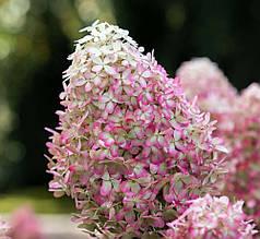 """Гортензія волотиста """"Royal Flower"""", (C3)"""