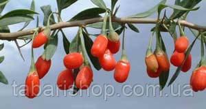 Годжи – чудо-ягода из Тибета
