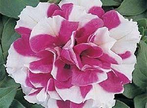 Семена Петунии Дуэт F1, розовая с белым Pan American 1000 гранул