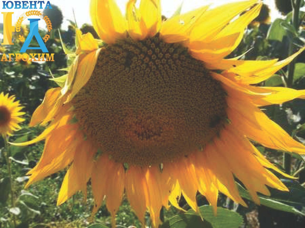 Семена подсолнечника ЕС Регата