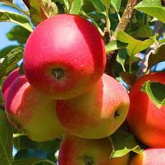 Яблоня осенняя сорт Гала Бакей, подвой М9