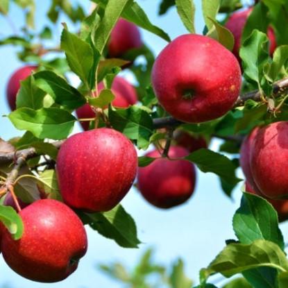 Саженцы яблони сорт Моди, подвой М9