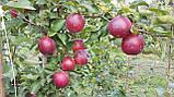 Саженцы яблони сорт Моди, подвой М9, фото 3