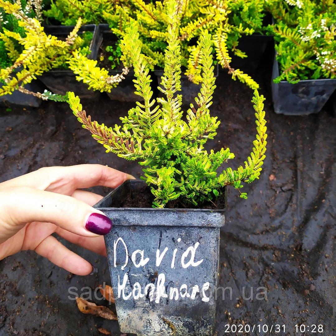 Вереск обыкновенный Davia Hanrare