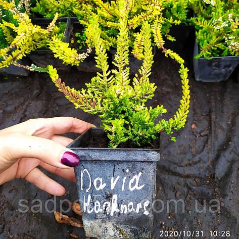 Вереск обыкновенный Davia Hanrare, фото 2