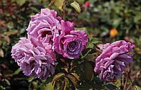 Саженцы роз флорибунда Аметиста (Ametista)