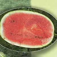 Семена арбуза AGX 17-06 F1, Agri Saaten 1 000 семян   профессиональные