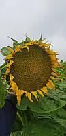 Семена подсолнечника Феникс OR7 (под гранстар) (цена договорная)