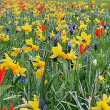 Арт-набір Оксфорд (ранні тюльпани, нарциси, мускарі) 16 цибулин