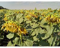 Семена подсолнечника Карат (под гранстар) (цена договорная)