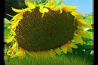 Семена подсолнечника Прайм (под гранстар) (цена договорная)