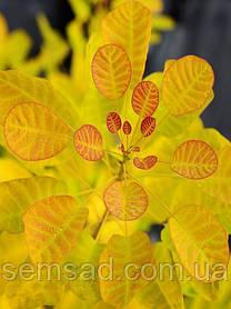 Скумпия кожевенная Голден Леди   \ cotinus coggygria 'Golden Lady ' ( саженцы 2 года)