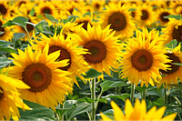 Семена подсолнечника Бленд (под евролайтинг) (цена договорная)