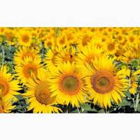 Семена подсолнечника ЛАЙМ ОR 7 (цена договорная)