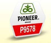 Семена кукурузы Пионер П9578 (Pioneer P9578)