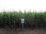 Насіння кукурудзи НС 2652 Екстра, фото 2