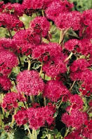 Семена цветов Агератум Красная река 20 шт