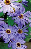 Семена цветов брахикомы голубой огонек 0,1 г