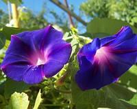 Семена цветов Ипомеи Пурпурной 1 г
