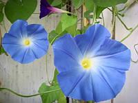 Семена цветов Ипомея синяя звезда 1 г