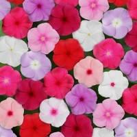 Семена цветов Катарантуса СанШторм F1 смесь 100 шт