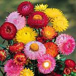 Семена цветов бессмертника