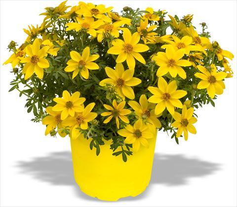 Семена цветов биденса