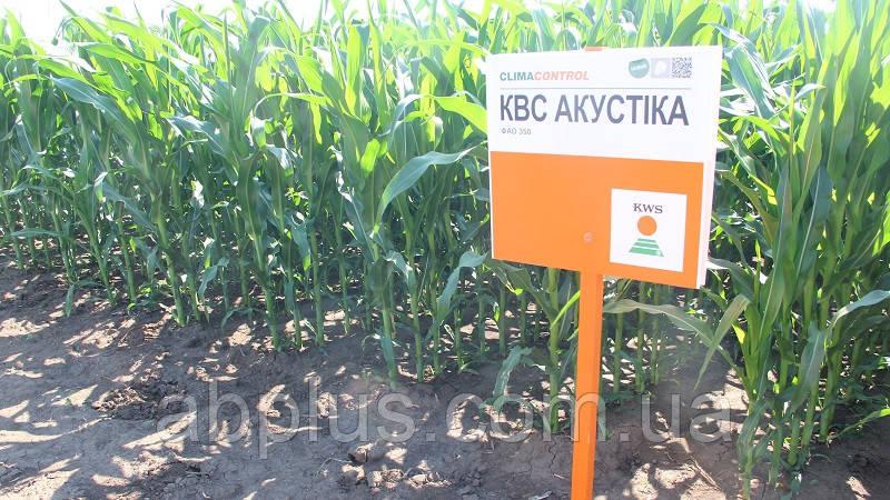 Семена кукурузы КВС АКУСТІКА новий (KWS)