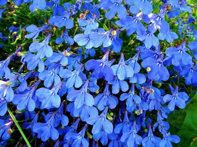 Семена цветов лобелии