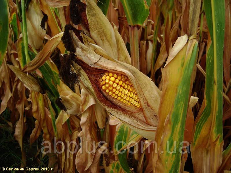 Семена кукурузы КВС КАШЕМІР