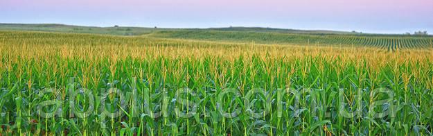 Семена кукурузы КВС ІНТЕЛЕГЕНС