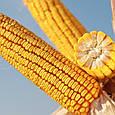 Семена кукурузы КВС ІНТЕЛЕГЕНС, фото 2