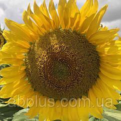 Насіння соняшника  БІЛОБА КЛП (середньоранній)
