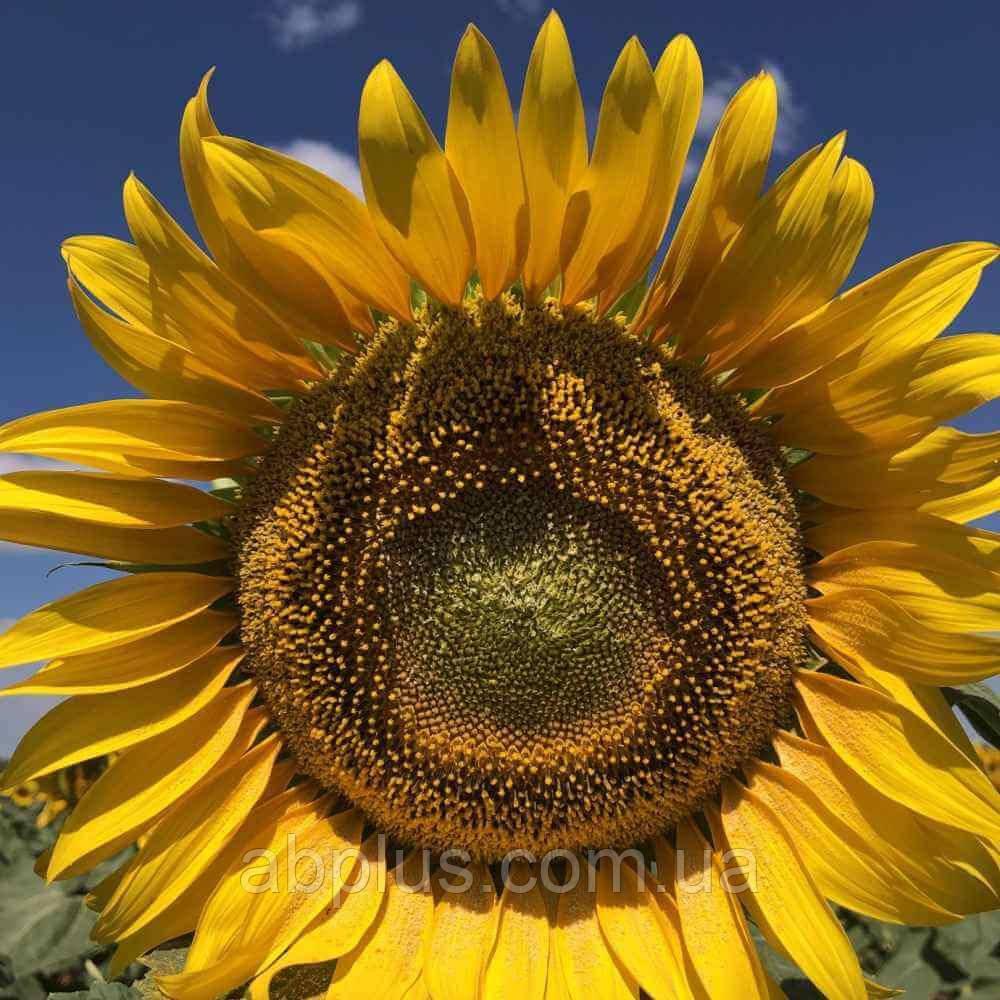 Насіння соняшника КВС АСЕР КЛ* (середньоранній)